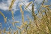 Рекорд на выброс: эксперт рассказал о печальной судьбе российского зерна