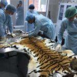 Фильм Сергея Ястржембского о тиграх завоевал награду в Нью-Йорке