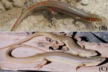 Российские ученые открыли новый вид ящерицы — «длинноногий персик»