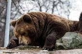 Воронежский медведь дошел до главы СКР