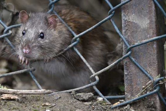 Московские крысы сжирают в год 100 миллионов