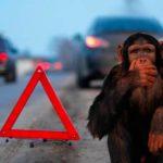 В Китае мартышка устроила ДТП, сверкая красным задом вместо светофора