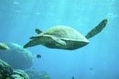 Ученые выяснили, почему 99% черепах Большого Барьерного рифа — самки