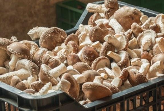 В Псковской области уничтожили более 13 тонн польских грибов