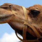 Гнев верблюда: сотрудник зоопарка рассказал, почему животные нападают на пьяных