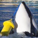 Говорящий кит-убийца: «привет» и «пока»!