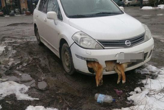 СМИ: депутат-единоросс несколько дней катался с трупом собаки в бампере