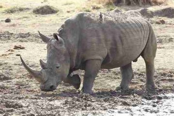 Последний самец северного белого носорога скончался в Кении