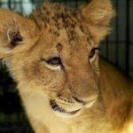 В Липецком зоопарке приготовили львятам из Москвы отдельные вольеры