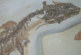 Ученые нашли два «дополнительных» глаза у ископаемых варанов