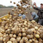 Россельхознадзор может ограничить ввоз картофеля из Белоруссии