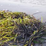 Российские ученые предложили изготавливать из водорослей 30 видов продукции