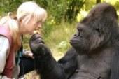 Владела ли знаменитая горилла Коко языком жестов?