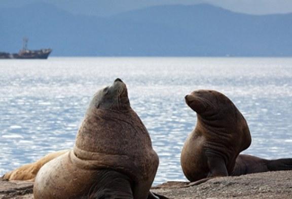 Сахалинские рыбаки спасли попавшего в сети сивуча