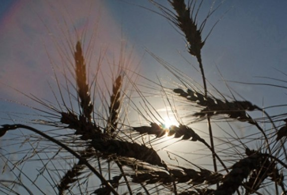 В Египте повторно проверят на спорынью пшеницу из России