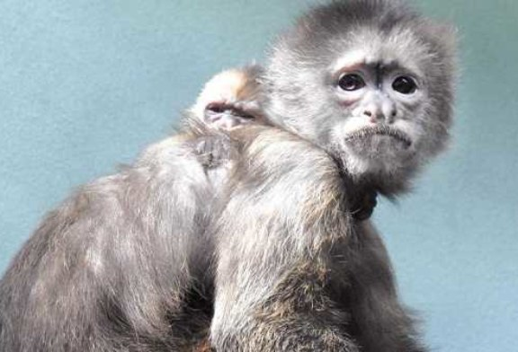 В Московском зоопарке родился капуцин плакса