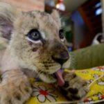 Львята вместо кошек. Почему европейцы заводят диких животных?