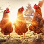Ни одна курица не пострадала: кто будет есть мясо из лаборатории?