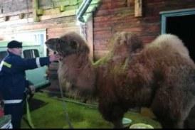 Под Иркутском верблюд прошел 20 км по 45-градусному морозу, чтобы найти помощь после ДТП