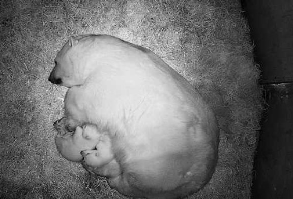 В Новосибирском зоопарке родились два белых медвежонка