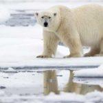 Эксперт рассказал о причинах нашествия медведей на Новой Земле