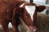 Приложение для знакомства коров создали в Великобритании