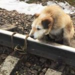 Машиниста электрички наградят за спасение привязанной к рельсам собаки