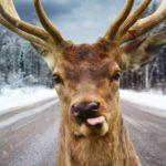 В Томске водители кормят оленя на посту ДПС (видео)