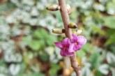 В «Аптекарском огороде» аномально рано расцвела волчья ягода