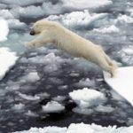 На Чукотке ученые исследуют белых медведей с помощью квадрокоптеров