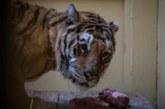 В гости к «Сказке». Как тигров, ехавших из Италии в Дагестан, спасли в Польше